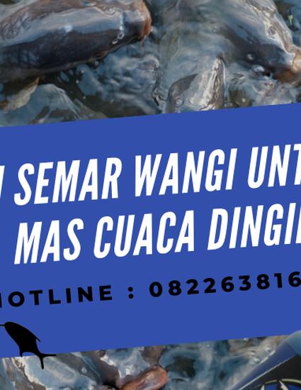 Essen Semar Wangi Untuk Ikan Mas Cuaca Dingin Paling Joss By Essenjitu Tasik